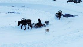 用马拉的雪橇 库存照片