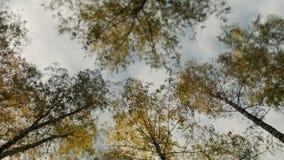 用黄色叶子盖的树的上面在秋天停放 影视素材