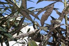 用介壳虫密集地盖的夹竹桃叶子 粉性的mealybug 免版税图库摄影