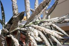 用介壳虫密集地盖的夹竹桃叶子 粉性的mealybug 免版税库存图片