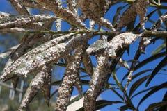 用介壳虫密集地盖的夹竹桃叶子 粉性的mealybug 免版税库存照片