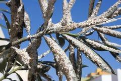 用介壳虫密集地盖的夹竹桃叶子 粉性的mealybug 库存照片