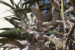 用介壳虫密集地盖的夹竹桃叶子 粉性的mealybug 图库摄影