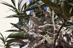 用介壳虫密集地盖的夹竹桃叶子 粉性的mealybug 库存图片