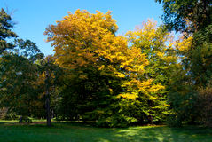 用黄色叶子盖的被隔绝的树 免版税图库摄影
