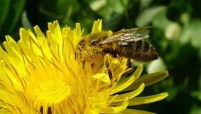 用黄色花粉盖的蜂 库存图片