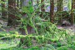 用绿色青苔盖的下落的树 免版税库存照片
