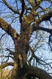 用细菌溃疡盖的一个老树的树干在一块小沼地在Groomsport爱尔兰 免版税图库摄影