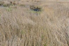 用从Someseni浴的芦苇盖的被放弃的水池在科鲁附近 免版税库存图片