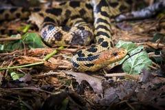甩它的舌头的Fox蛇 免版税图库摄影