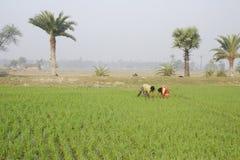 稻田。 免版税库存照片