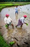 稻田喀拉拉,印度 免版税库存图片
