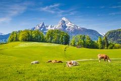 田园诗夏天风景在有吃草在草甸的母牛的阿尔卑斯 库存照片