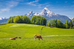 田园诗夏天风景在有吃草的母牛的阿尔卑斯 库存照片