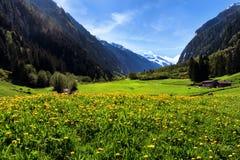 田园诗山风景在有黄色花和绿色草甸的阿尔卑斯 Stilluptal,奥地利,新手 免版税库存图片