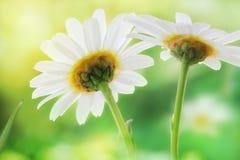 田园诗雏菊延命菊草甸在明亮的阳光下 由后面照的摄影 库存图片