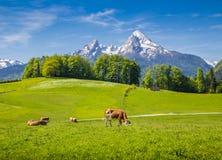 田园诗风景在有吃草在新鲜的绿色山的母牛的阿尔卑斯吃草 免版税库存图片