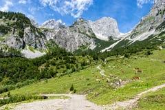田园诗风景在有吃草在有高山的新鲜的绿色高山牧场地的母牛的阿尔卑斯 alpes奥地利山牧场地提洛尔 库存图片