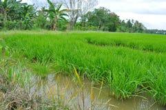 稻田在一个晴天 图库摄影