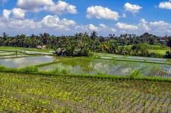 稻田在巴厘岛 免版税图库摄影