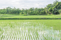 稻田季节 库存照片
