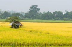 稻田米在泰国 库存照片