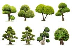 田耕树弯曲 在白色背景的被隔绝的树, 免版税库存图片