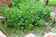 水田芥在庭院池塘 免版税库存图片