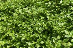 水田芥种植园的领域 库存图片