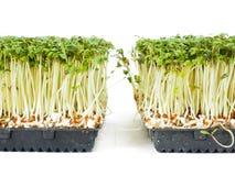 水田芥种植生长在一个小的黑盘子 免版税库存照片
