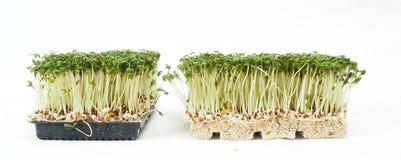水田芥种植生长在一个小的黑盘子 库存图片