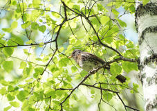 田鸫坐一个桦树分支在森林里 免版税库存照片