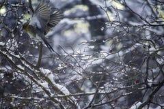 田鸫画眉类pilaris在山楂树莓果哺养  库存图片