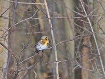 田鸫-画眉类pilaris在一个冬日 免版税库存照片