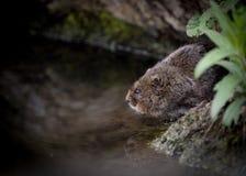 水田鼠坐水边缘 库存照片