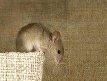 田鼠老鼠在帆布的背景坐在亚麻制袋子顶部并且看下来的特写镜头 里面仓库 免版税库存图片