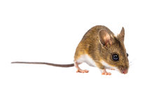 田鼠(姬鼠属sylvaticus)与裁减路线 免版税库存照片