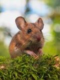 田鼠(姬鼠属sylvaticus)在森林里 免版税库存图片