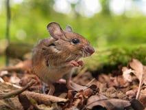 田鼠(姬鼠属sylvaticus)祈祷 免版税库存照片