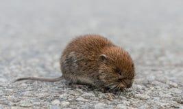 田鼠(田鼠属arvalis) 图库摄影