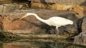 由一个人为池塘的伟大的白鹭在霍尔公园, Frisco,得克萨斯 免版税库存图片
