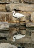 由一个人为池塘的伟大的白鹭在霍尔公园, Frisco,得克萨斯 免版税库存照片