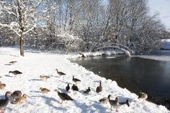 由一个多雪的池塘的鸭子 库存图片