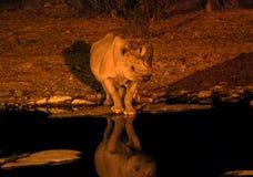 由一waterhole的黑犀牛在晚上 库存图片
