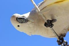 由下往上好奇硫磺有顶饰的美冠鹦鹉 免版税图库摄影