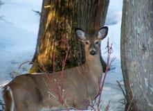由两棵雪松的美丽的鹿在与欧洲红瑞木胸罩的冬天 库存图片