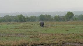 由于大雨,成人非洲犀牛进入从领域的灌木 股票视频