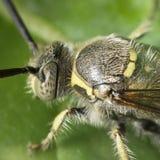 由于宏指令的黄蜂 免版税图库摄影
