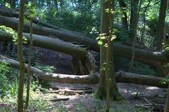 由于风暴,从他们的更低的部分被剥去了的几棵大树 免版税库存照片