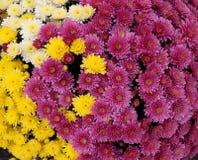 由五颜六色的春白菊做的花圃 免版税图库摄影